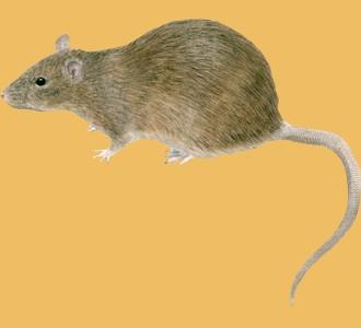 Accogli un roditore di specie topo grigi