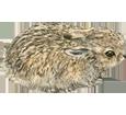 Coniglio comune ##STADE## - mantello 52