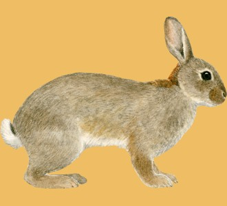 Accogli un roditore di specie coniglio comune