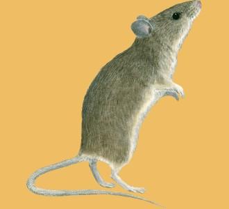 Accogli un roditore di specie topo
